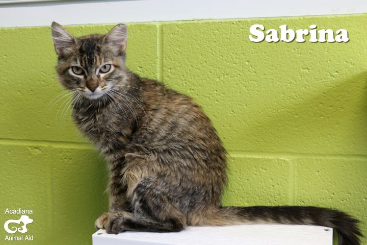 Sabrina, an adopted Domestic Long Hair & Maine Coon Mix in Carencro, LA