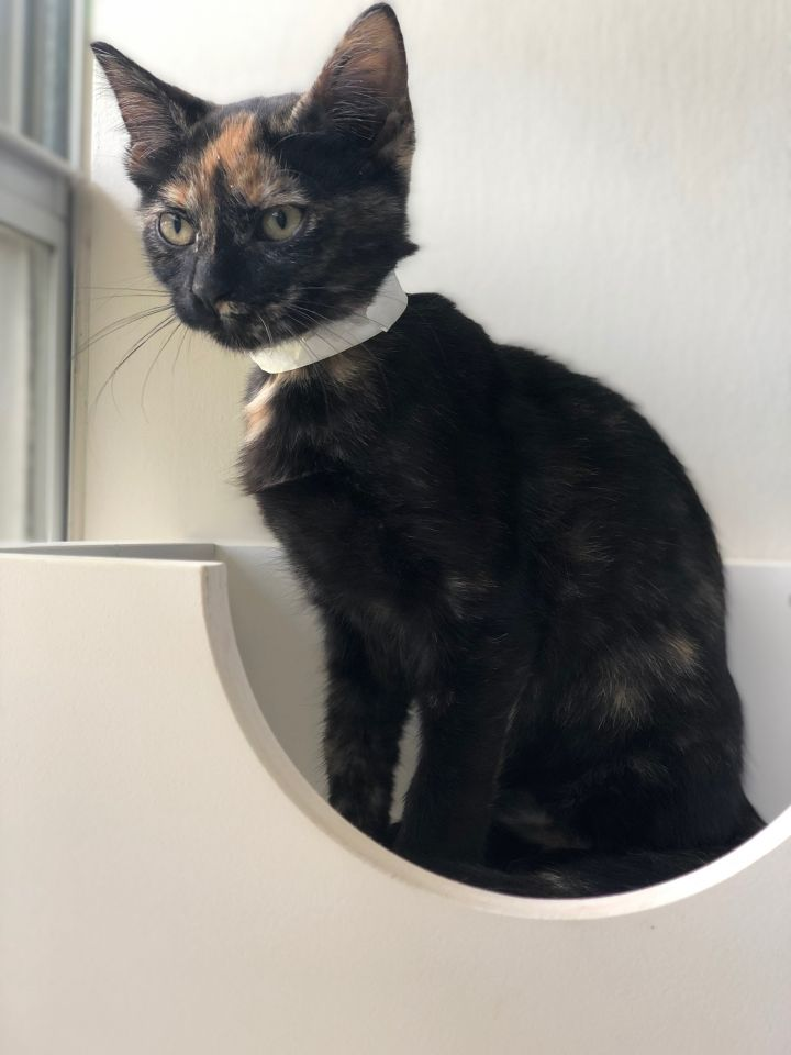 Suzie Q, an adoptable Domestic Short Hair & Tortoiseshell Mix in Carencro, LA