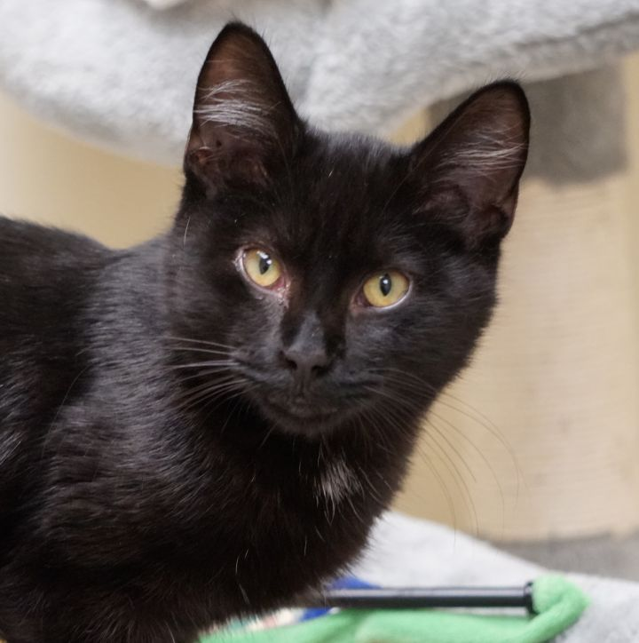 Zeus, an adoptable Domestic Short Hair in Naperville, IL