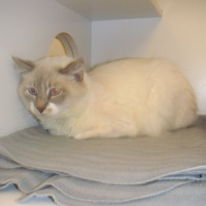 Full of life and energy Richies a handsome ragdoll who was mistreated in the p