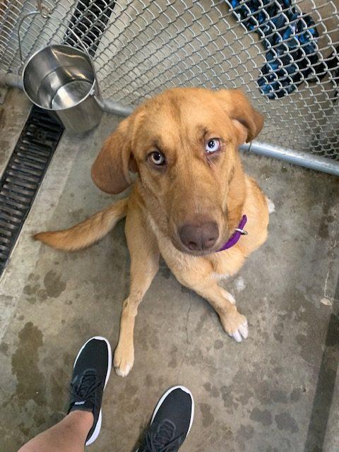 Dog For Adoption Scottie A Yellow Labrador Retriever Mix
