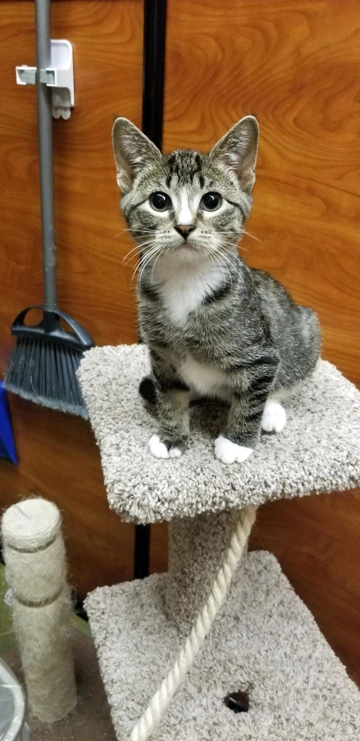 Munchkin, an adoptable Domestic Short Hair in Manhattan, KS