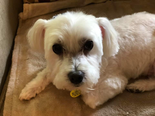 Dog For Adoption Baxter A Maltese Poodle Mix In