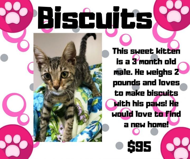 Cat for adoption - Biscuits, a Domestic Short Hair in