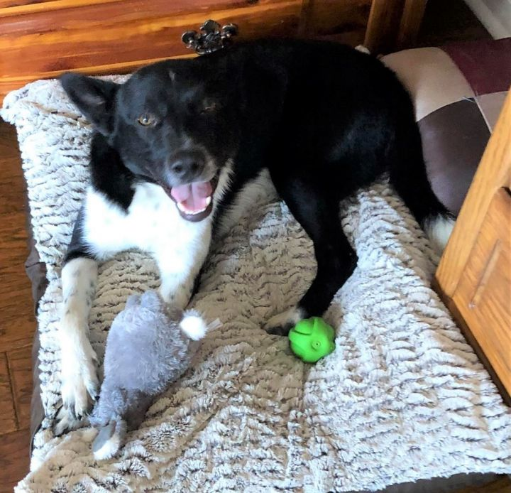 Loki *HERE IN NH*, an adopted Border Collie Mix in Northwood, NH