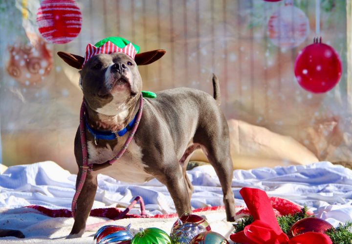 Savvy 5-156-19, an adopted Staffordshire Bull Terrier Mix in Grass Valley, CA