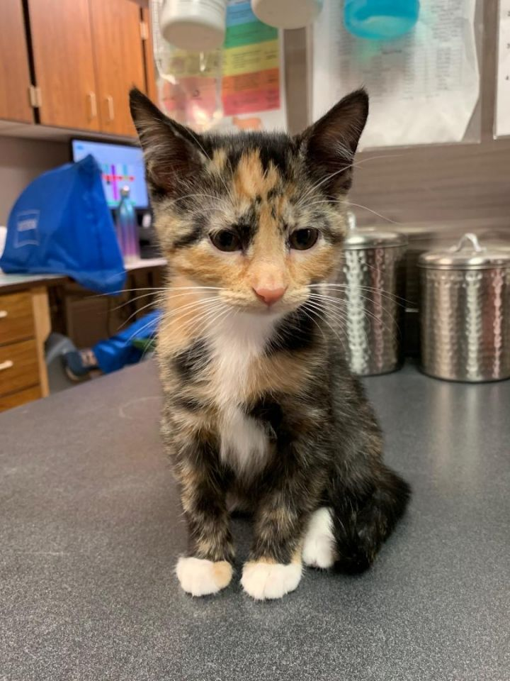 Dally, an adopted Calico & Domestic Short Hair Mix in Dickinson, ND