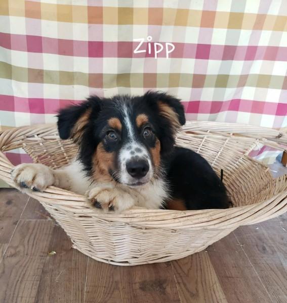 Dog for adoption - Zipp, an Australian Shepherd Mix in