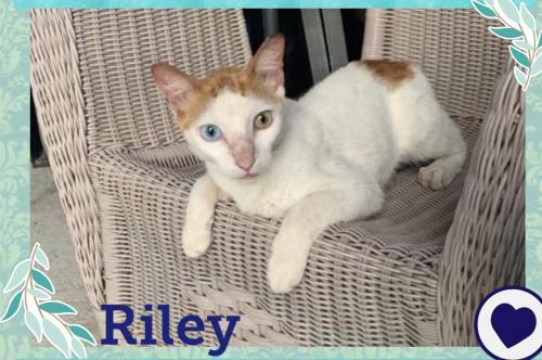 Riley, an adopted Domestic Short Hair Mix in Orlando, FL