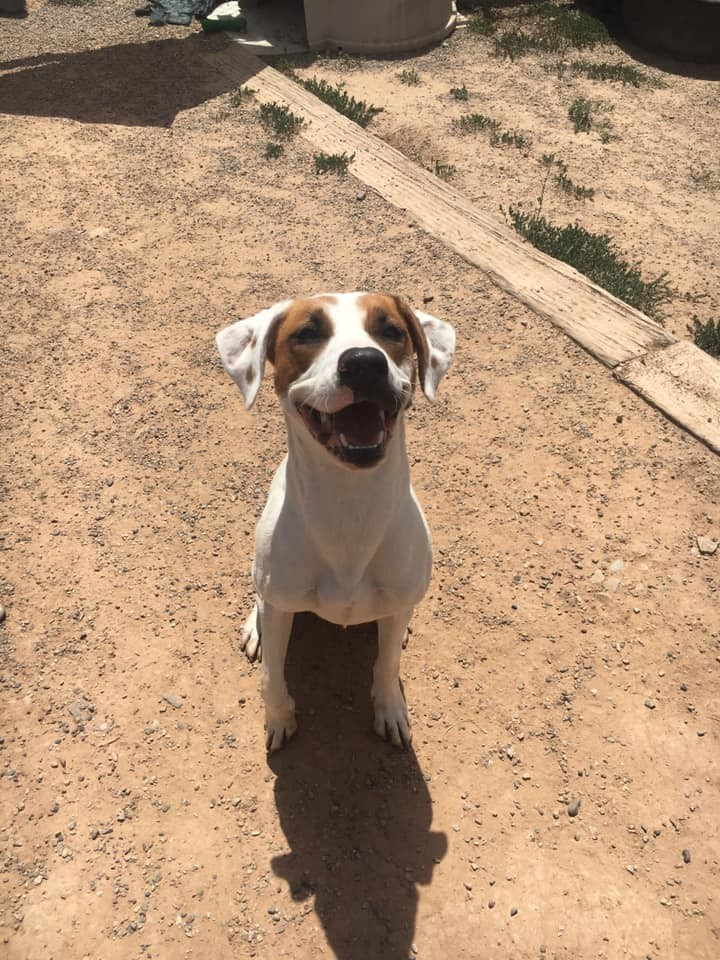 Kalila, an adopted Pit Bull Terrier & Hound Mix in Rifle, CO