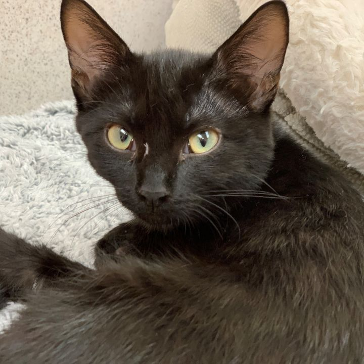 T. Gabrielle, an adopted Domestic Short Hair in Naperville, IL