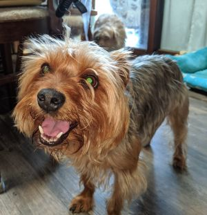 Dog for adoption - Marvin, a Yorkshire Terrier in Rochester