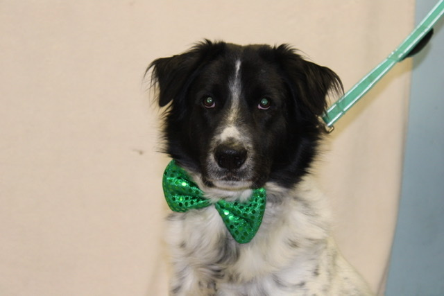 Dylan, an adoptable Border Collie Mix in Medford, NY