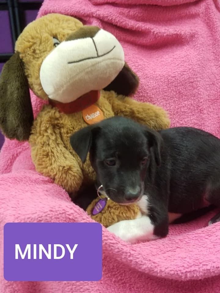Dog for adoption - Mindy, an Australian Cattle Dog / Blue