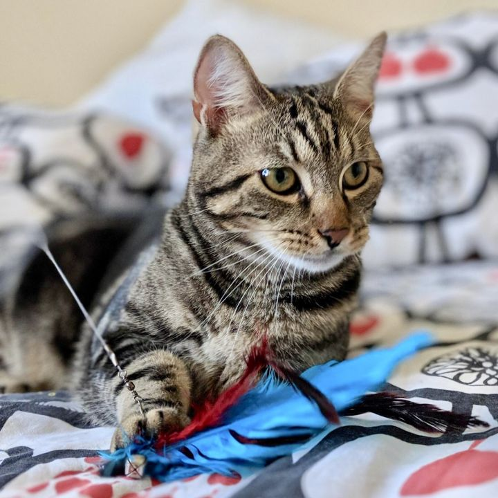 Pickle, an adopted Domestic Short Hair in Jersey City, NJ