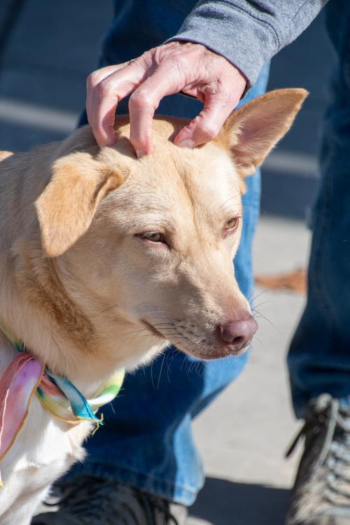 Ricotta, an adoptable Retriever Mix in Alpharetta, GA