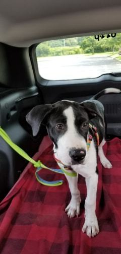 Zeke, an adoptable Pit Bull Terrier & Labrador Retriever Mix in Homer, NY