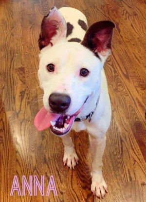 Dog for adoption - Anna, an American Staffordshire Terrier