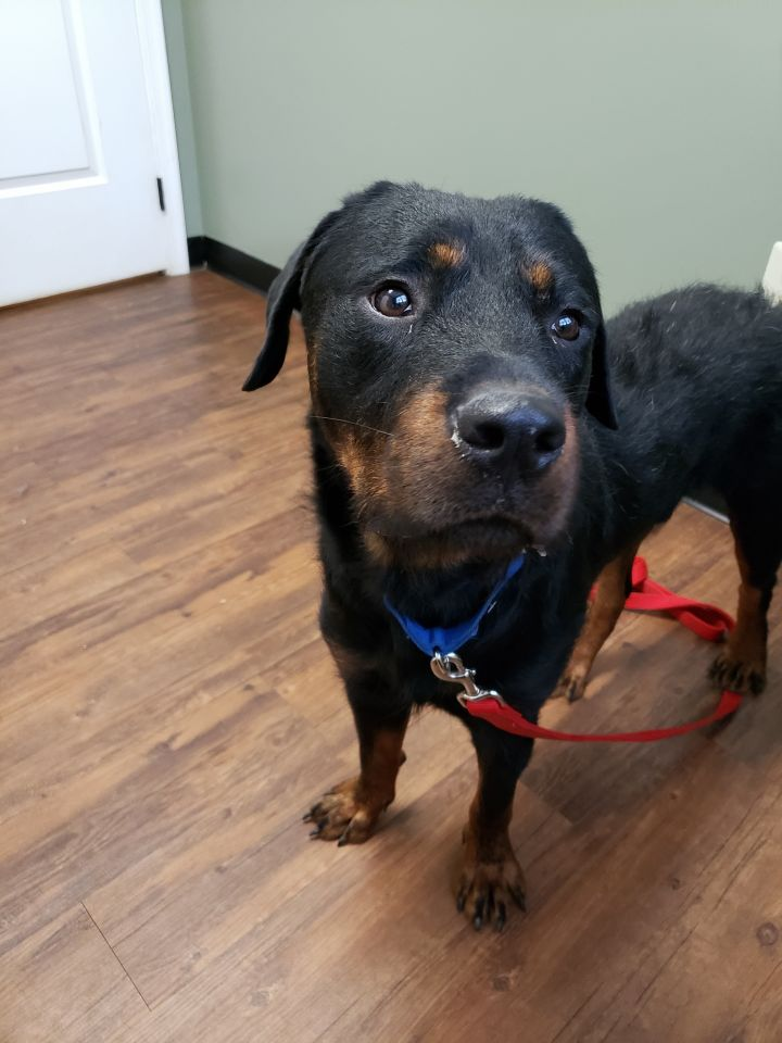 Archie, an adopted Rottweiler in Frederick, PA