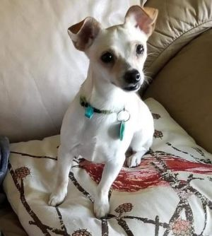 Dog for adoption - London in Michigan, a Chihuahua in