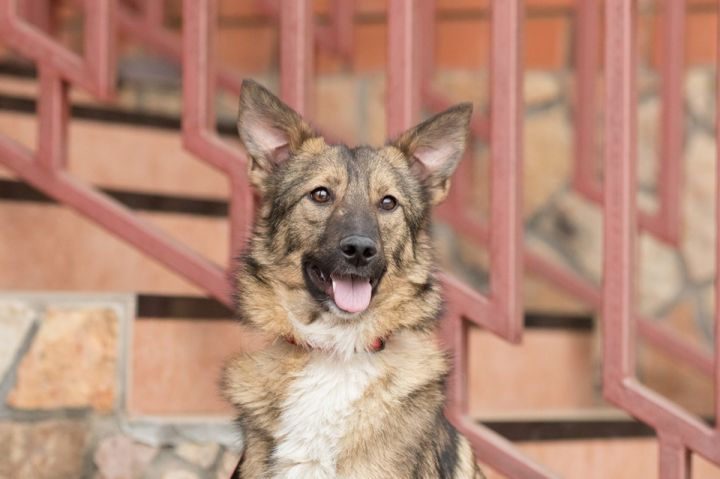 Lolita Russian Lassie, an adoptable Shepherd & Collie Mix in New York, NY