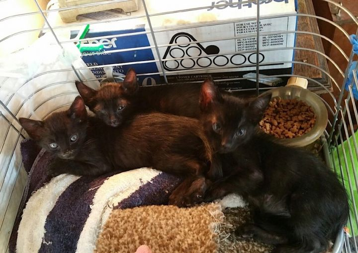 Whitney, an adoptable Oriental Short Hair & Bombay Mix in Mission Viejo, CA