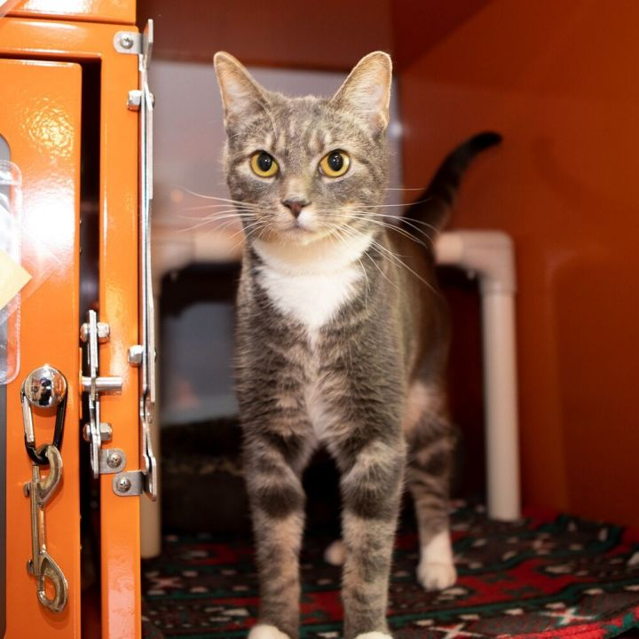 Mack, an adopted Domestic Short Hair in Ridgefield, CT