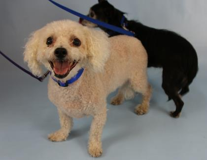 Dog for adoption - Sir Henry, a Bichon Frise Mix in