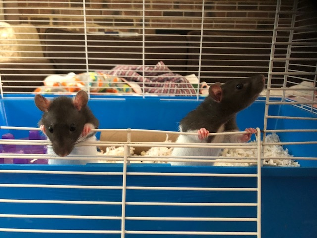 Rat for adoption - Zach and Corbin, a Rat Mix in Durham, NC