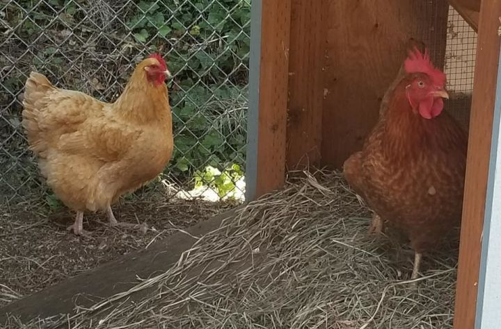 Chickens!, an adopted Chicken in Bellingham, WA