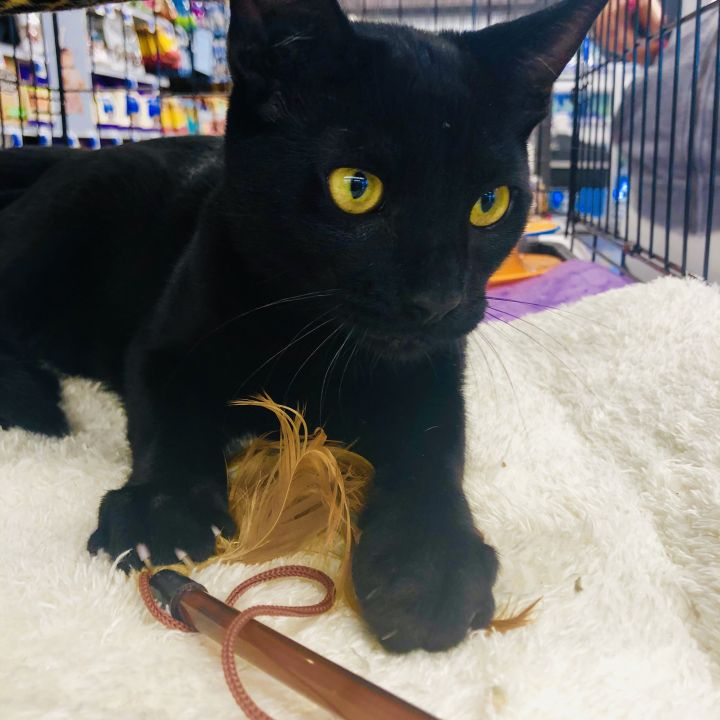Draymond, an adopted Domestic Short Hair & Bombay Mix in Vallejo , CA