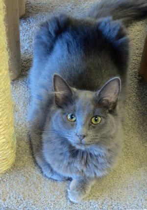 Kassidy Domestic Medium Hair Cat