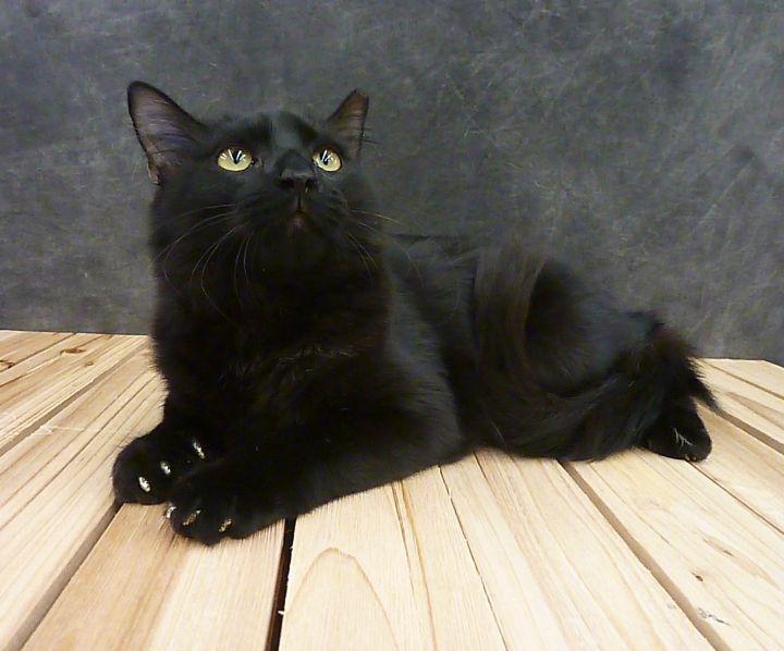 Party - Black Fluffy Kitten 4