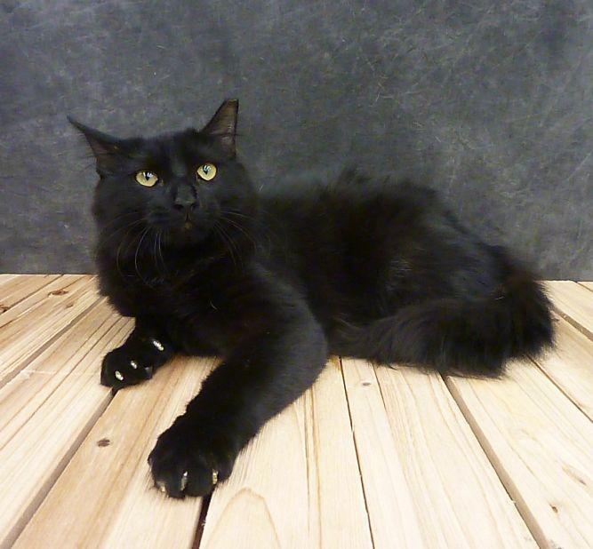Party - Black Fluffy Kitten