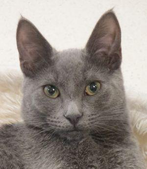 Kokomo Domestic Short Hair Cat