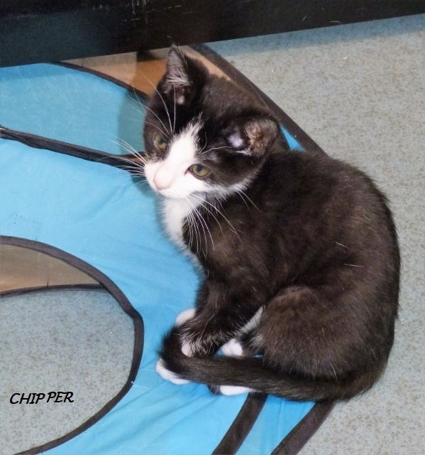 Chipper, an adoptable Domestic Short Hair Mix in Louisville, KY