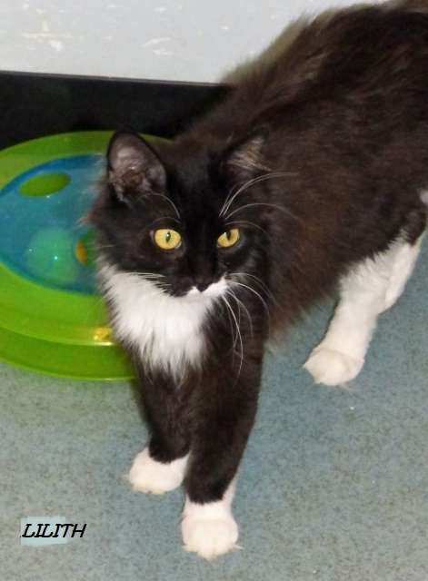 Lilith, an adoptable Domestic Medium Hair Mix in Louisville, KY