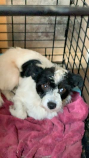 Dog for adoption - Dixie, a Terrier Mix in Coburg, OR