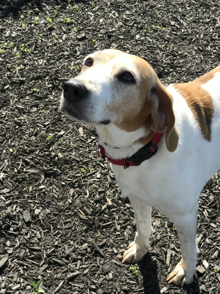 Mae - Senior, an adoptable Coonhound Mix in Albany, NY