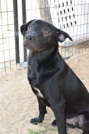 Dog for adoption - Pepper, a Labrador Retriever Mix in