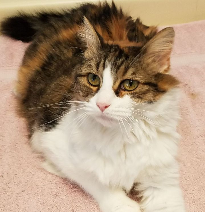 Ophelia, an adopted Domestic Medium Hair in Marshfield, WI