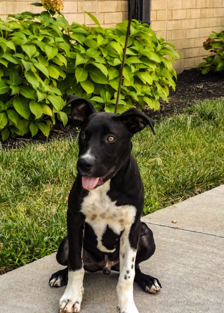 Azgard, an adopted Pit Bull Terrier Mix in Lexington, KY