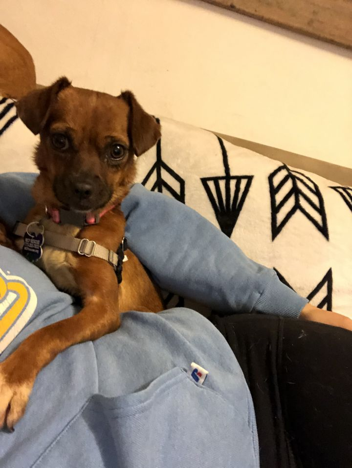 Dog for adoption - Sushi, an Italian Greyhound & Chihuahua