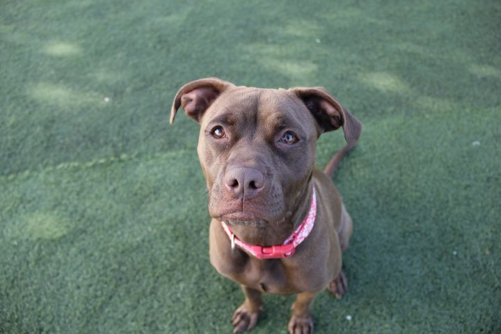 Belleza, an adopted Pit Bull Terrier Mix in Eagle, ID