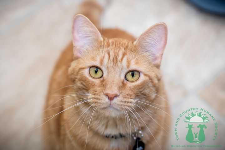 Bamm Bamm Rubble, an adoptable Domestic Short Hair Mix in Papillion, NE