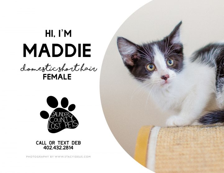 Maddie, an adopted Domestic Short Hair in Wahoo, NE