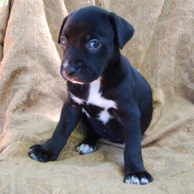 Dog for adoption - Arizona Pup - Mesa, a Labrador Retriever