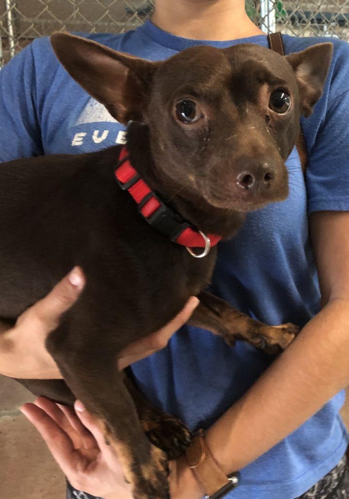Dog for adoption - Jasper, a Chihuahua Mix in Savannah, GA