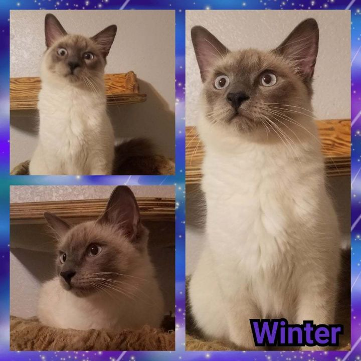 Cat for adoption - Winter, a Ragdoll in Ennis, TX | Petfinder