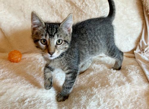 Oreo, an adoptable Tabby & Domestic Short Hair Mix in Springfield, OR